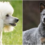 Types de races de chiens Myers-Brigg